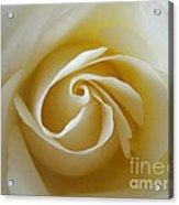 Tenderness White Rose Acrylic Print