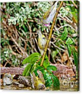 Tennessee Warblers Acrylic Print