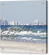 Terns On The Move Acrylic Print