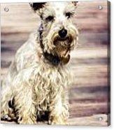 Terrier On Deck Acrylic Print