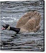 Territorial Canadian Goose Acrylic Print