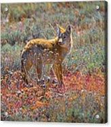 Teton Coyote Acrylic Print