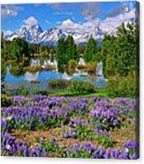 Teton Spring Lupines Acrylic Print