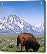 Tetons Buffalo Range Acrylic Print