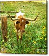Texan Longhorn Acrylic Print