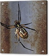 Texas Barn Spider In Web 2 Acrylic Print
