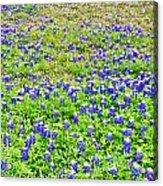 Texas Beauties Acrylic Print