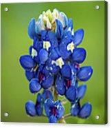 Texas Blue Acrylic Print