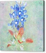 Texas Bluebonnet And Indian Paintbrush Acrylic Print
