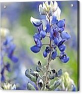 Texas Bluebonnets 04 Acrylic Print