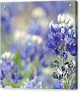 Texas Bluebonnets 05 Acrylic Print