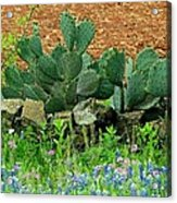 Texas Bluebonnets And Cactus Acrylic Print