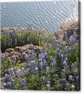 Texas Bluebonnets At Lake Travis Acrylic Print