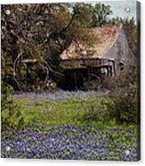 Texas Bluebonnets With Old Abandoned Shack Acrylic Print