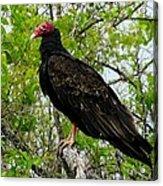 Texas Buzzard - Turkey Vulture Acrylic Print