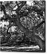 Texas Capitol Tree Acrylic Print