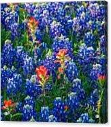 Texas Colors Acrylic Print