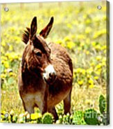 Texas Donkey In Yellow Cacti Acrylic Print