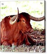 Texas Is Longhorns Acrylic Print