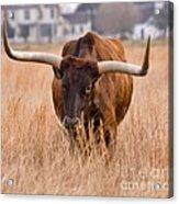 Texas Longhorn Acrylic Print