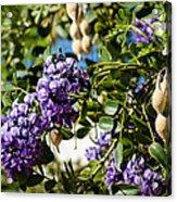 Texas Mountain Laurel Sophora Flowers And Mescal Beans Acrylic Print