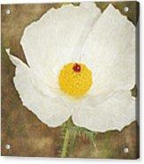 Texas Prickly Poppy Wildflower Acrylic Print