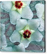 Textured Hoya Acrylic Print