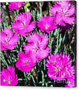 Textured Pink Daisies Acrylic Print