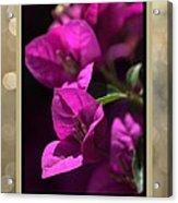 Thank You - Bougainvillea Flowers Acrylic Print