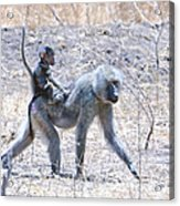 Thanks For The Ride Olive Baboon Acrylic Print