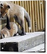 That's Not Helping - Two Fox Kits Acrylic Print