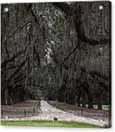 The 99 Oak Trees Acrylic Print