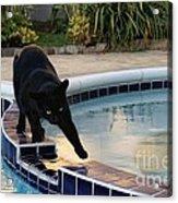 The Adventurous Feline Acrylic Print