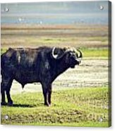 The African Buffalo. Ngorongoro In Tanzania. Acrylic Print