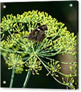 The American Snout Butterfly Acrylic Print