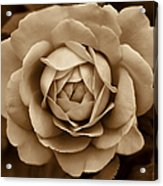 The Antique Rose Flower Acrylic Print