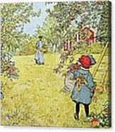 The Apple Harvest Acrylic Print by Carl Larsson