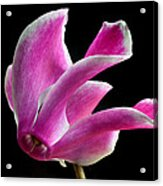 The Art Of Cyclamen Acrylic Print by Terence Davis