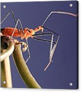 Garden Assassin Bug Acrylic Print