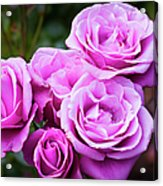 The Barbara Streisand Rose Acrylic Print
