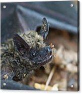 The Bat Acrylic Print