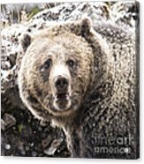 The Bathroom Bear Acrylic Print