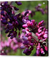 The Beautiful Redbud Tree Acrylic Print