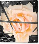 The Beautiful Rose Acrylic Print