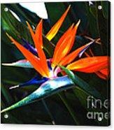 The Beauty Of A Bird Of Paradise Acrylic Print
