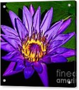 The Beauty Of A Water Liliy Acrylic Print