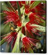 The Bee And Bottlebrush Acrylic Print
