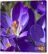 The Bee And The Crocus Acrylic Print