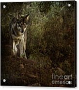The Big And Not Too Bad Wolf Acrylic Print