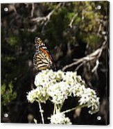 The Big Monarch Acrylic Print
